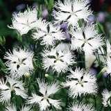 Dianthus Supra White
