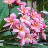 Frangipani-Darwin-Pink-16