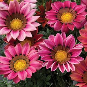Gazania Big Kiss Rose 16 - Garden Express Australia