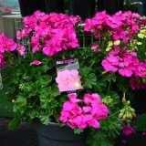 Geranium-Big-Rose.16
