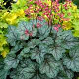 Heuchera Peppermint Spice 16