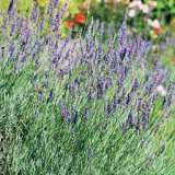 Lavender Jurat Giant