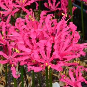 Nerine Rosea 15 10 - Garden Express Australia