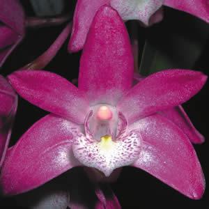 Dendrobium Orchid Purple