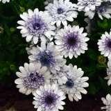 Osteospermum 3d Blueberry Ice