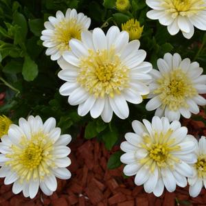 Osteospermum 3d Lemon Ice