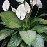 Spathiphyllum-Platinum-Mist-16