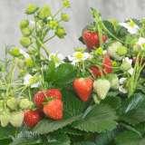 Strawberry-Delizz-c16