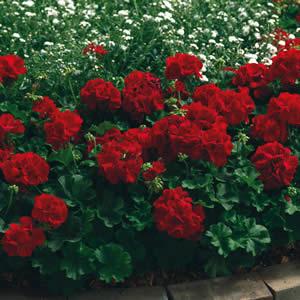Geranium Big Red Pbr