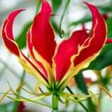 Gloriosa Lily