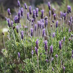 Lavender Frenchette