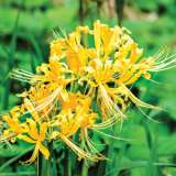 LYCORIS GOLD