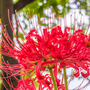 LYCORIS RED