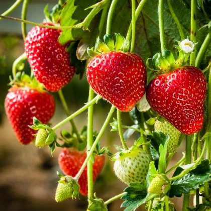 Pplstradi Strawberry Adina 16