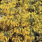 Wildflower Seed – Dwarf Wattle