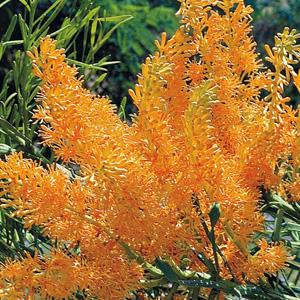 Wildflower Seed – West Australian Christmas Tree