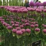 Allium-Drumstick-Chels17