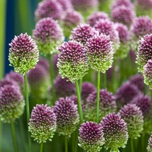 Allium Drumstick Temp - Garden Express Australia
