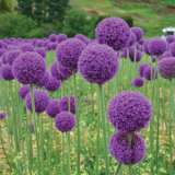Allium Giganteum