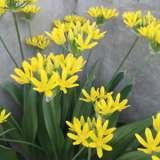 Allium-Molly.17