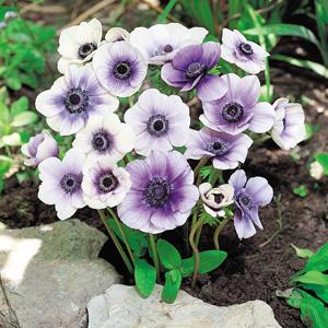 Anemone Poppy Bicolour