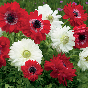 Anemone Double Red & White Blend