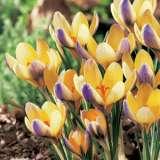 Crocus Chrysanthus Advance