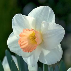 Daffodil Champagne
