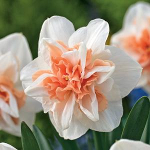 Daffodil-Delnashaugh-17