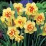 Daffodil-Double-Fashion.17