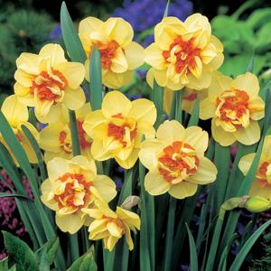 Daffodil Double Fashion 17 - Garden Express Australia