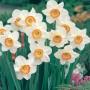 Daffodil-Flower-Record-17