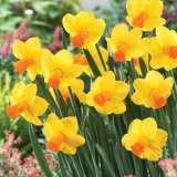 Daffodil Glen Clova