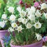 Daffodil Hoop Petticoat White