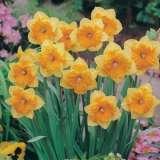 Daffodil Mondragon