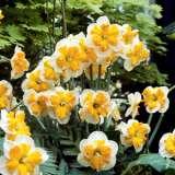 Daffodil Pick Up