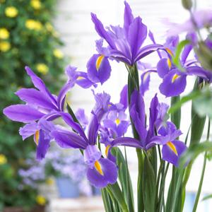 Dutch Iris Discovery 17 - Garden Express Australia