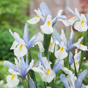Dutch Iris Silvery Beauty 17