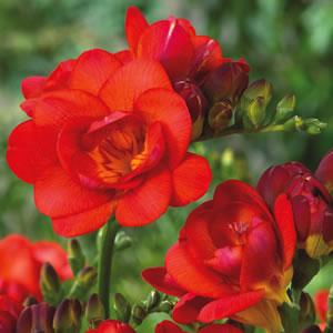 Freesia Red Beauty