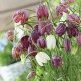 Fritillaria-mixed-17