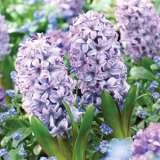 Hyacinth-City-of-Bradford.17