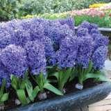 Hyacinth-Delft-Blue.17