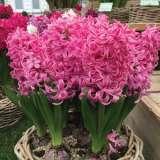 Hyacinth-Pink-Pearl.17