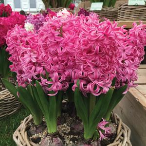 Hyacinth Pink Pearl
