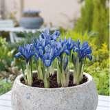 Iris-reticulata-Lady-Beatrix-Stanley-17