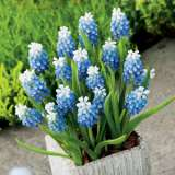 Grape Hyacinth Mount Hood