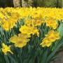 PKDAFYTR-Daffodil-Yellow-2017