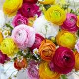 Ranunculus-Rembrandt-Mixed-17