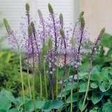 Scilla-hyacinthoides-17