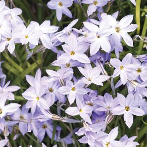 Planting Stock Spring Star Light Blue